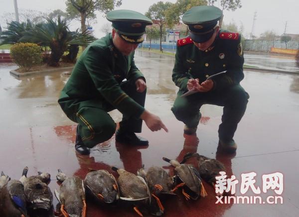 崇明东滩9只斑嘴鸭被毒杀 属保护动物