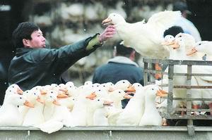 31日起暂停活禽交易 添百个冷鲜禽销售点
