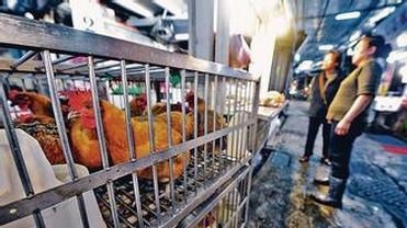 H7N9禽流感流入香港 将扑杀2万家禽