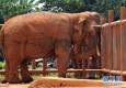 昆明一动物园饲养员象舍内死亡 疑受大象攻击