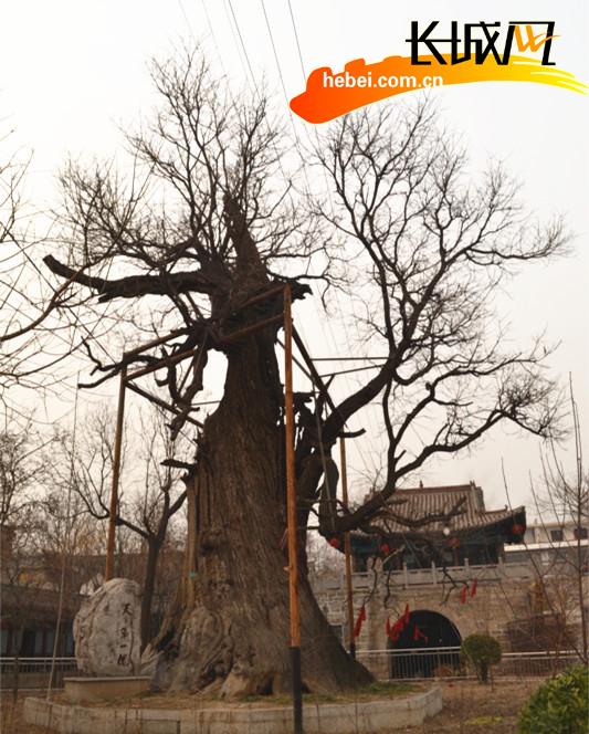 古村寨的天下第一槐。 刘云 摄   古槐树高度29米左右,树围达1.7米,树冠直径覆盖周围达19米,是河北省目前已知树龄最长的槐树。在当地历朝历代县志和古村寨的碑文中也有诸多记载和描述。据清嘉庆四年(公元1799年)《涉县志》记载:古槐树,邑有三,皆植自唐宋。一在故县镇,大十数围,枝叶扶疏,状类虬龙。另据古村寨的《古槐碑记》记载:中州胜地古槐者派溯沙侯国(即涉县)属地也,高入云霄,世人罕见。乃中华灵秀之钟,民族之骄也。