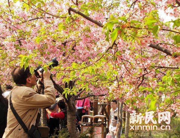 2014上海樱花节周四在顾村公园开幕