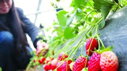 青浦草莓节未开先热 尝鲜客扎堆摘草莓