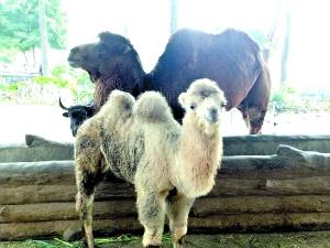 """小骆驼""""母腹历险记"""":动物医生爱心创造奇迹"""