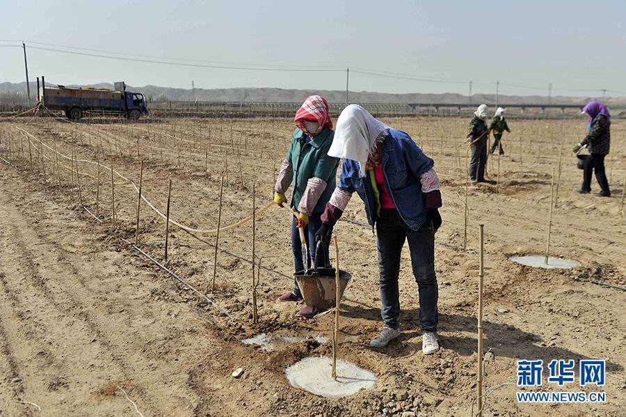 中宁枸杞建成规模化枸杞种植基地10万多亩