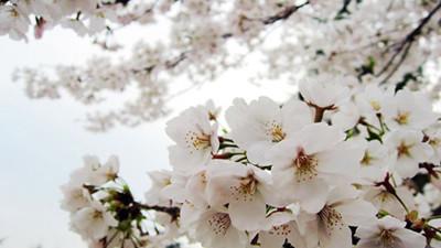 【新生活】上海最全的免费赏樱地图 值得收藏