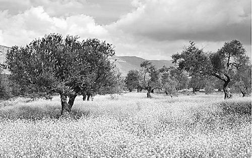 在地中海盆地(全世界约97%的橄榄树生长于此),预计的气候变化将导致该