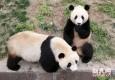 大熊猫抵沪 镜头揭秘生活百态