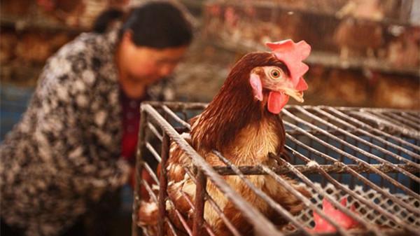 沪活禽交易下月开禁 圈养土鸡价涨4成