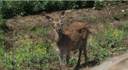 金山松隐小树林现3头梅花鹿 疑为养殖场逃出