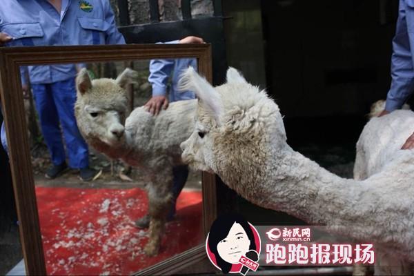 野生动物园羊驼