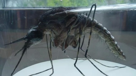 神奇南非蚊子不吸血只吸脂肪?专家:没听说过