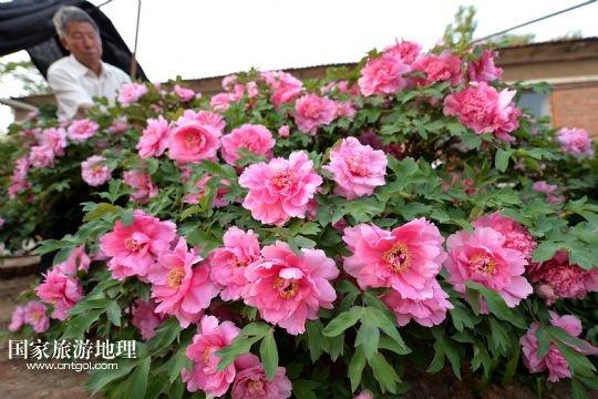 宁城县长皋村惊现300年树龄绝色牡丹