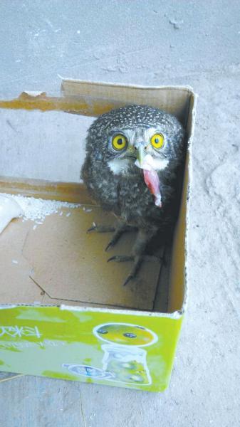 猫头鹰属国家二级保护动物,市民可以放飞或者送入动物园.
