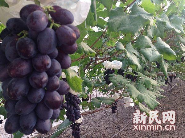 超早熟马陆葡萄已上市 每斤售价40元