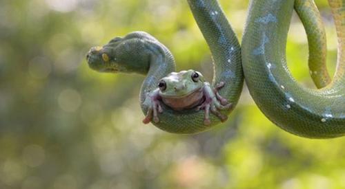 """树蛙趴树蟒身上""""荡秋千"""" 与天敌相处和睦"""