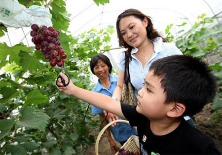 马陆葡萄40元/斤被指太贵 种植方称只