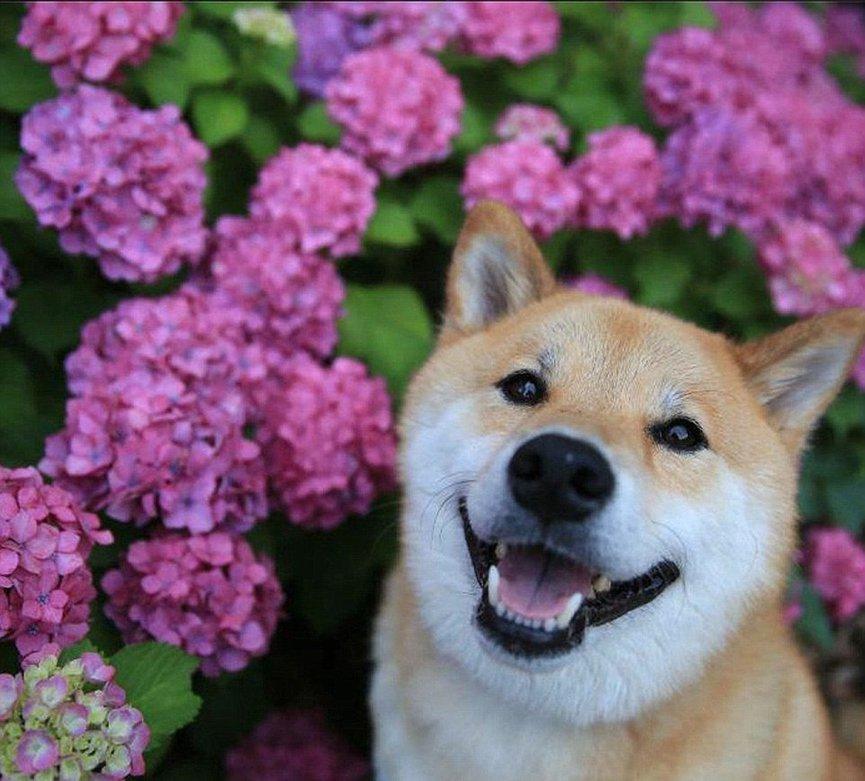 """日本""""微笑柴犬""""获全球最幸福小狗称号"""