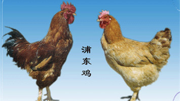 为正宗上海食材正名 浦东鸡崇明羊有标准