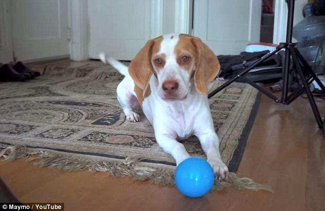 英宠物狗生日获赠100个彩球反应逗趣