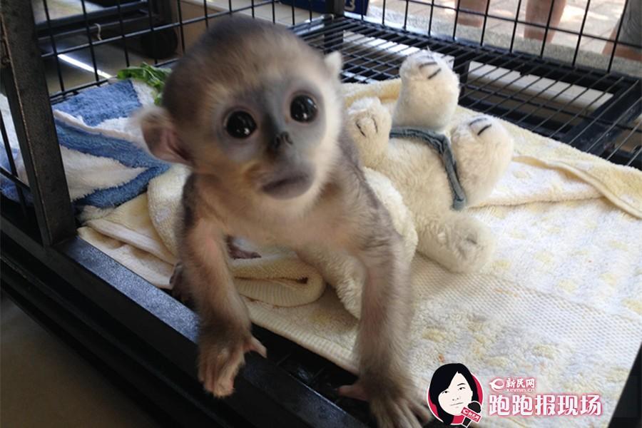 上海动物园动物宝贝齐亮相 小斑马小狮尾猴萌萌哒