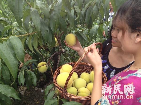 上海奉贤黄桃节下周开幕 邀市民体验采摘乐趣