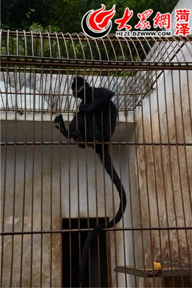 据了解,梧州黑叶猴珍稀动物繁殖基地位于梧州市云龙公园内,始建于