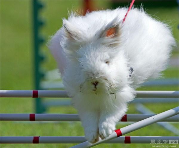 兔子跨栏赛照片走红 小短腿萌态十足图片