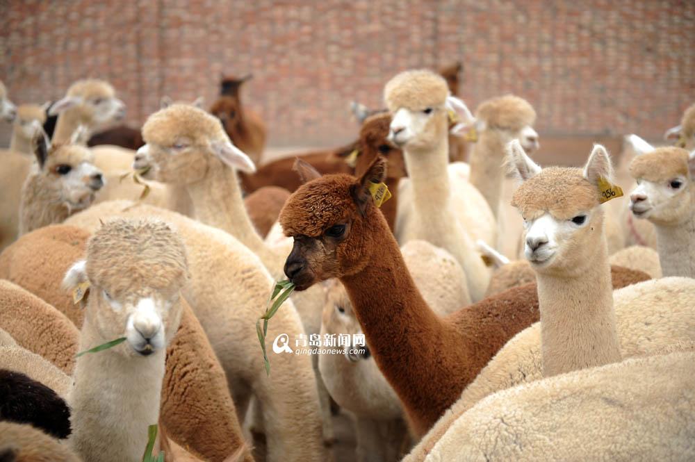 高清:野生动物园将成羊驼乐园 神兽憨态可掬