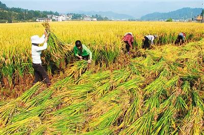 我国超级稻亩产1026.7公斤