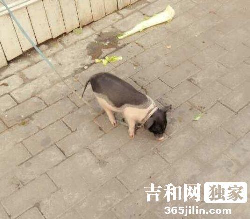 长春时尚辣妹人民广场溜猪 引市民争相拍照-中国吉林网