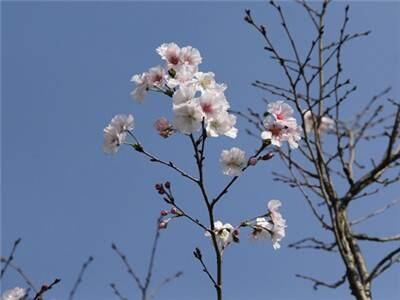 秋季赏樱之旅别错过!上海植物园樱花绽放持续至12月