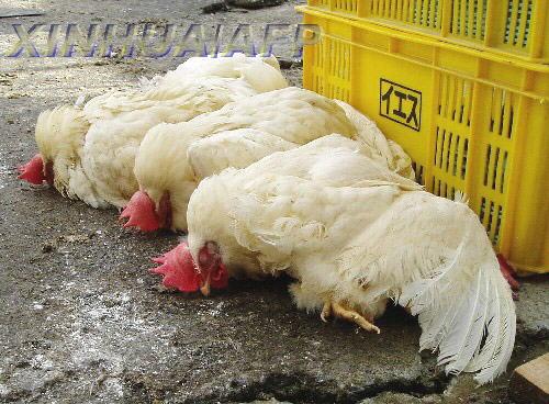 江苏确诊今秋首例禽流感病例 曾买鸡现场宰杀
