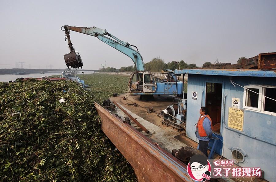 黄浦江水葫芦肆虐 已累计打捞16万余吨