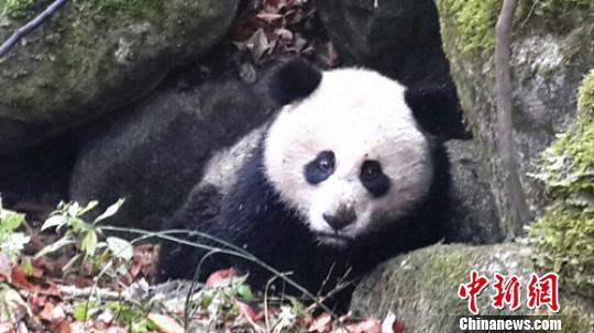 四川青川大熊猫受伤肠子外露 跑到保护区求助