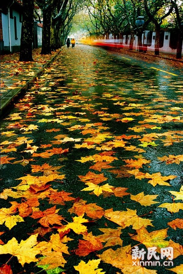 申城一叶知秋,逐步迈入最美秋天。昨(11月24日)晚阵雨大风过后,申城街道上满是落叶,增添了浓浓的秋意。图为洒满梧桐叶的康平路好像一幅油画。郑宪章 摄