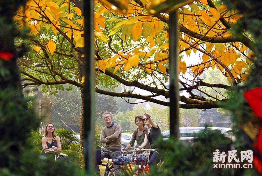 上海茂名路上,一群老外骑游赏秋色,围墙里面为花园饭店。徐正魁 摄