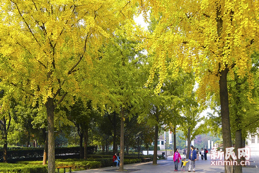 上海文化广场的行道树满目金黄散发着浓浓的秋日魅力。徐正魁 摄