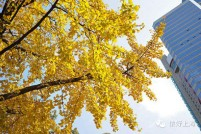 金色童话世界!在上海一定要去的9条银杏景观道!