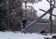 旅美大熊猫迎降雪 雪地打滚萌化人心