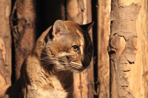 亚洲金猫_亚洲金猫现白水江保护区 频临灭绝民间将金猫骨作豹骨
