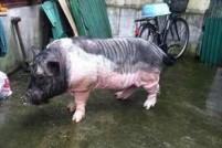 小香猪变成大猪猡