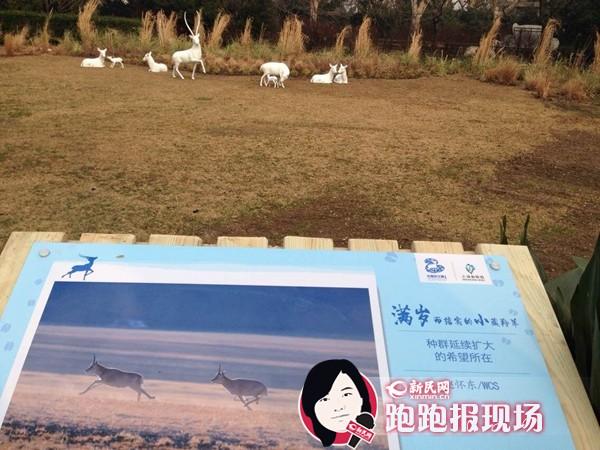 """上海动物园展示藏羚羊雕塑 羊年唤游客""""爱羊"""""""