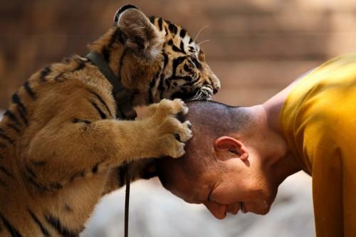 杨玉莹色�_巴銮达博寺内的老虎和僧侣相处十分融洽.