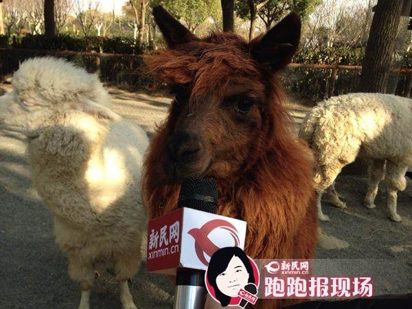 新年特别策划——上海寻羊记:羊年的羊到底是啥?