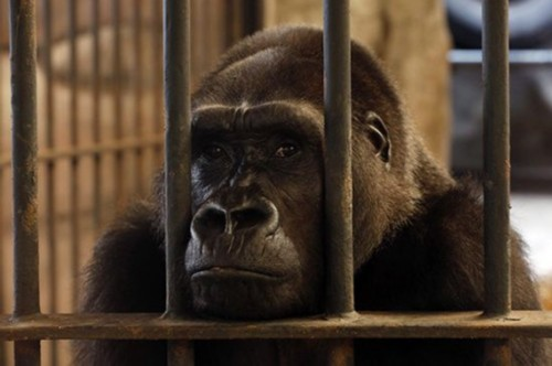 泰国一动物园将大猩猩关在笼内27年