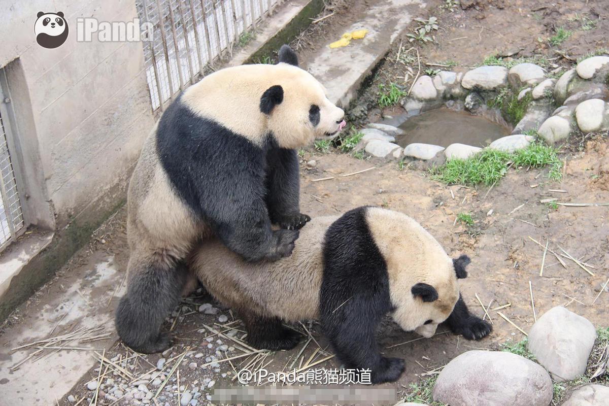 金馆长熊猫表情原图
