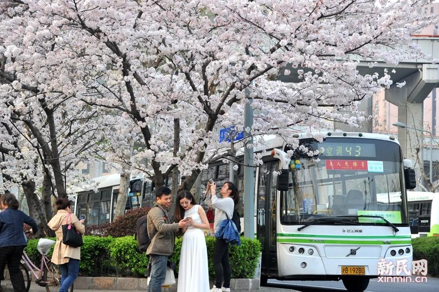 """上海""""最美公交车站""""樱花绽放"""