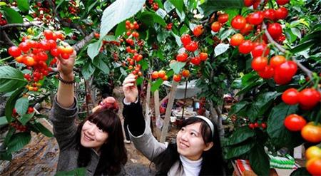 上海郊区最大樱桃园开园 去吕巷镇采摘咯