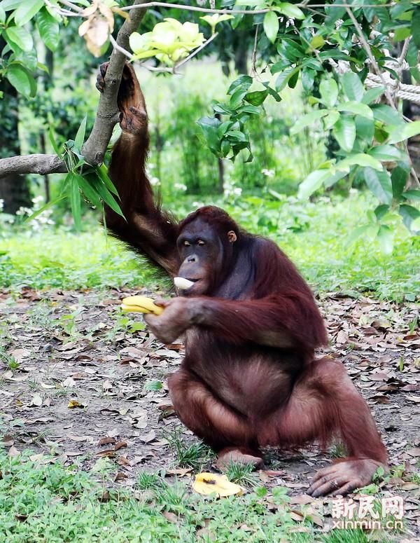 红猩猩取下绑在树上的香蕉。新民晚报 周馨摄